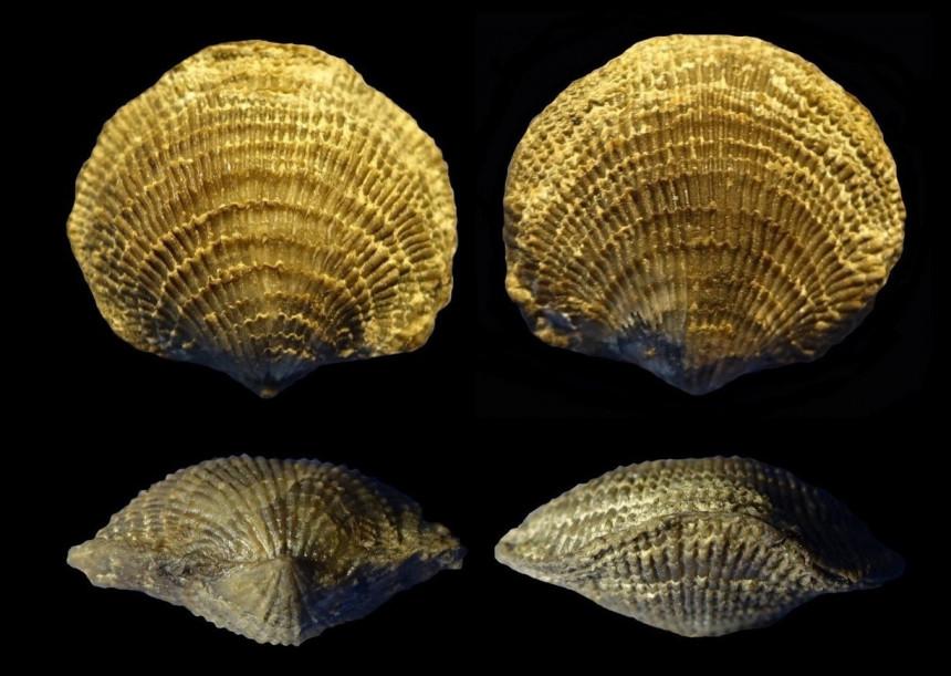 Brachiopode Spinatrypina cf. demissa COPPER, 1967