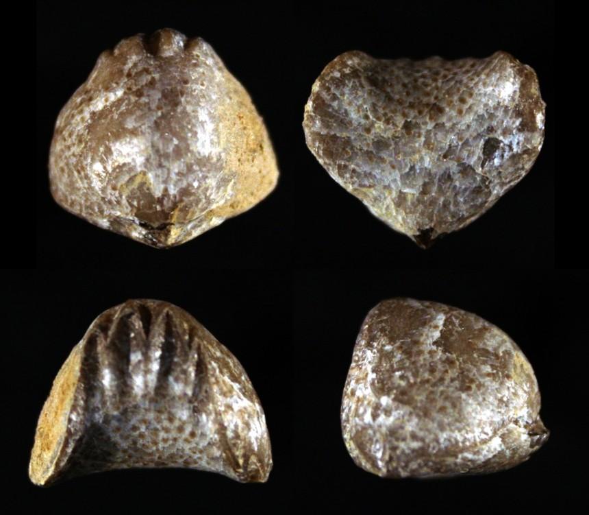 Solidipontirostrum pugnoides pugnoides