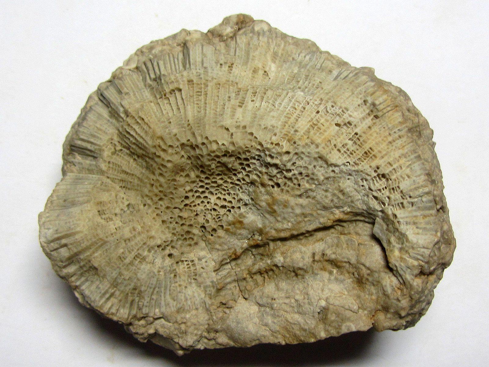Emmonsia emmonsi (Rominger 1876)
