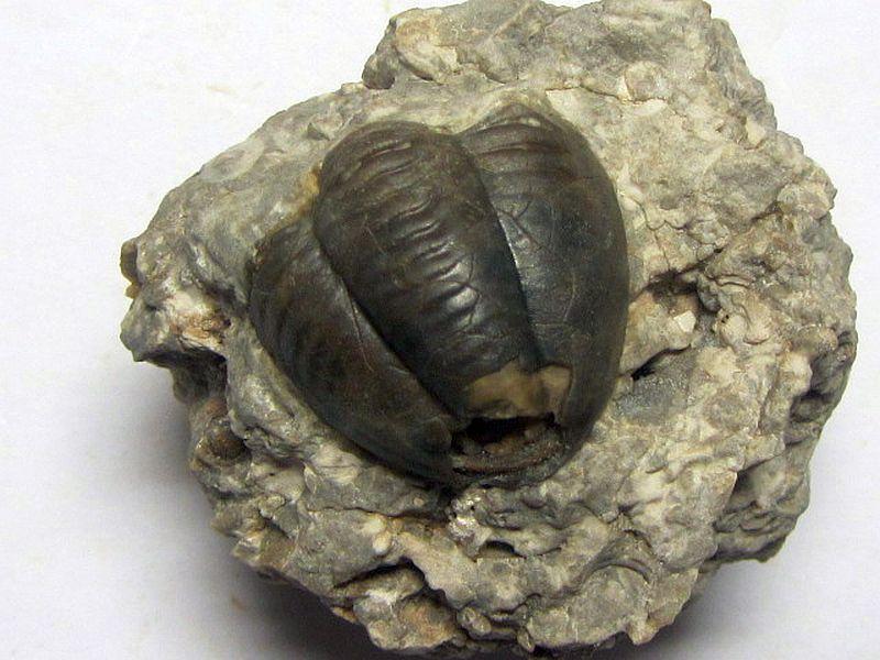 Proetus (Crassiproetus) crassimarginatus (Hall 1843)