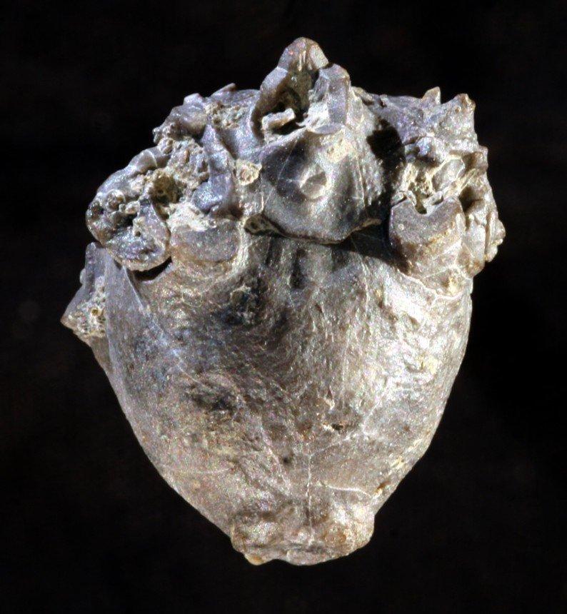 Crinoide Megaradialocrinus sp.