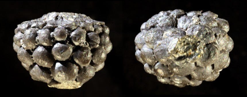 Crinoide Melocrinites sp.
