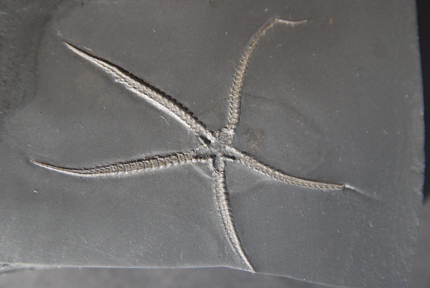 Furcaster palaeozoicus (STÜRMER)