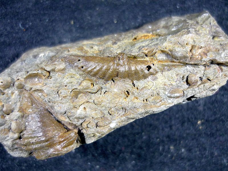 Arduspirifer extensus