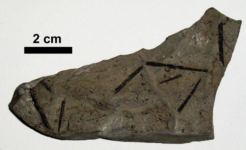 Pristiograptus dubius
