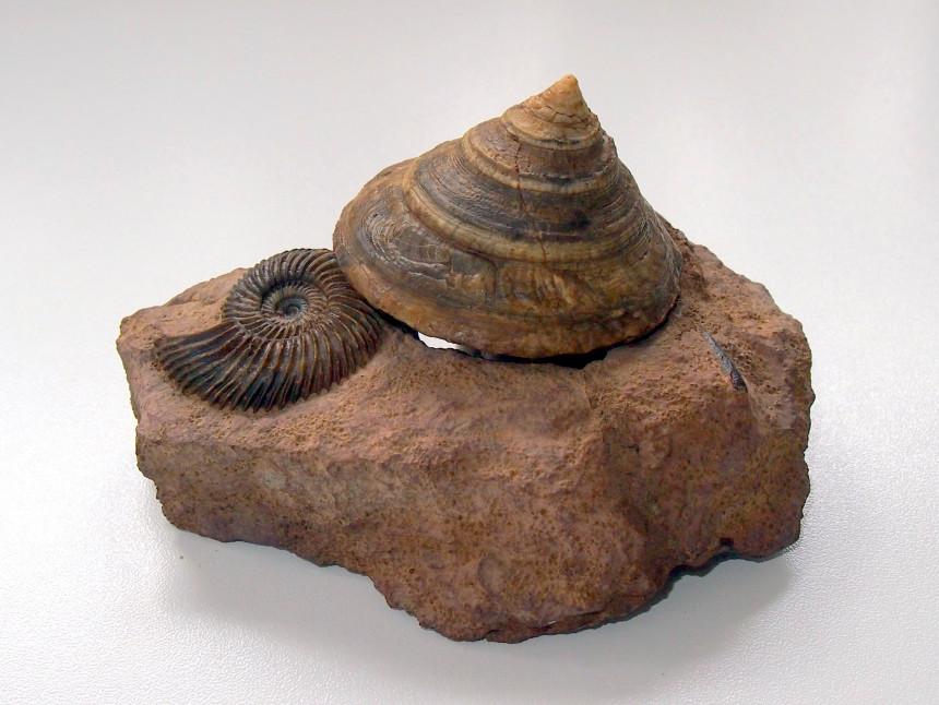 Pyrgotrochus macrocephalus und Ammonit Parkinsonia sp.