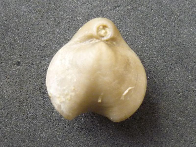 Nucleata nucleata (Schlotheim 1820)