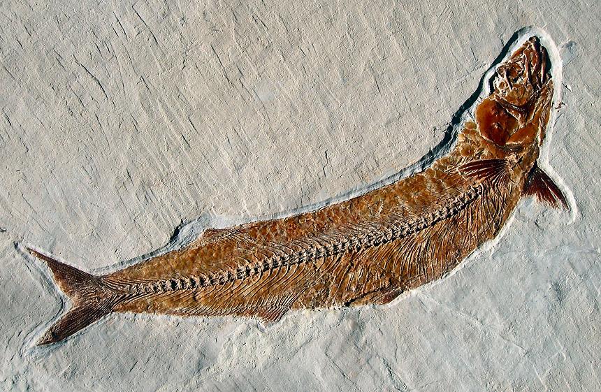 Allothrissops sp.