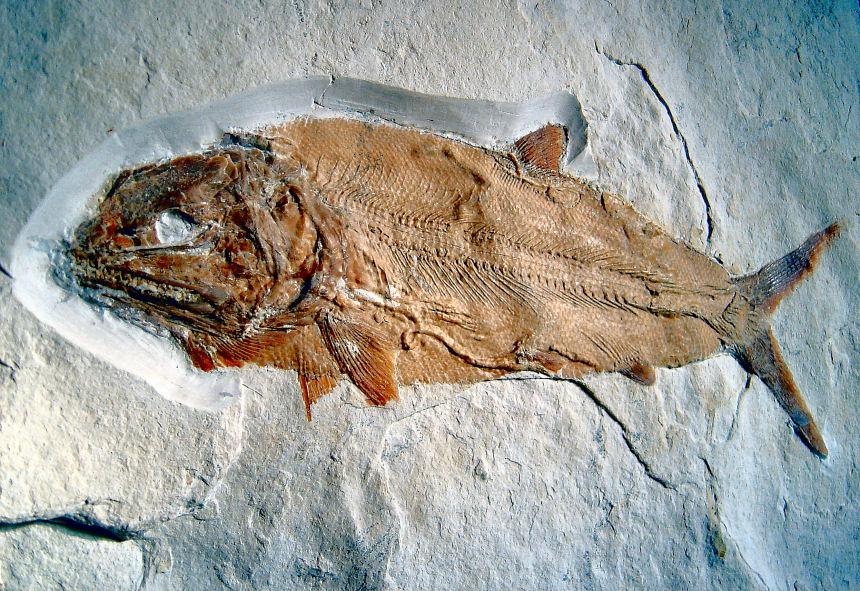 Caturus furcatus AGASSIZ, 1834