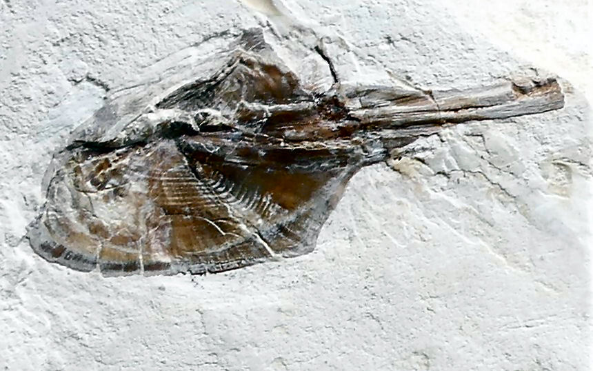 Muensterella scutellaris MUENSTER, 1842