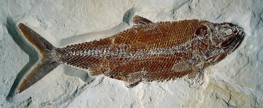 Pholidophorus sp.
