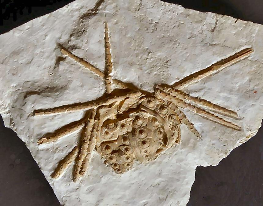Rhabdocidaris orbignyna