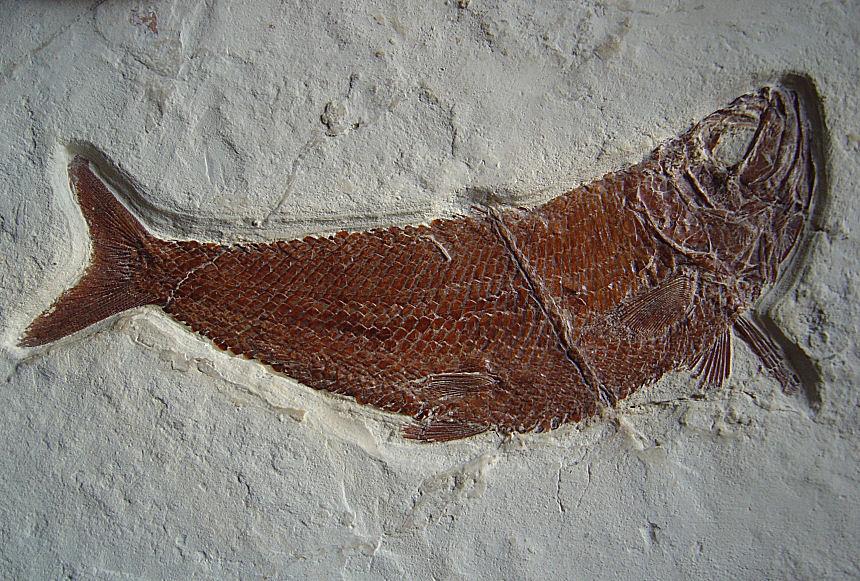 Unbekannter Knochenfisch ( Siemensichthys ? )