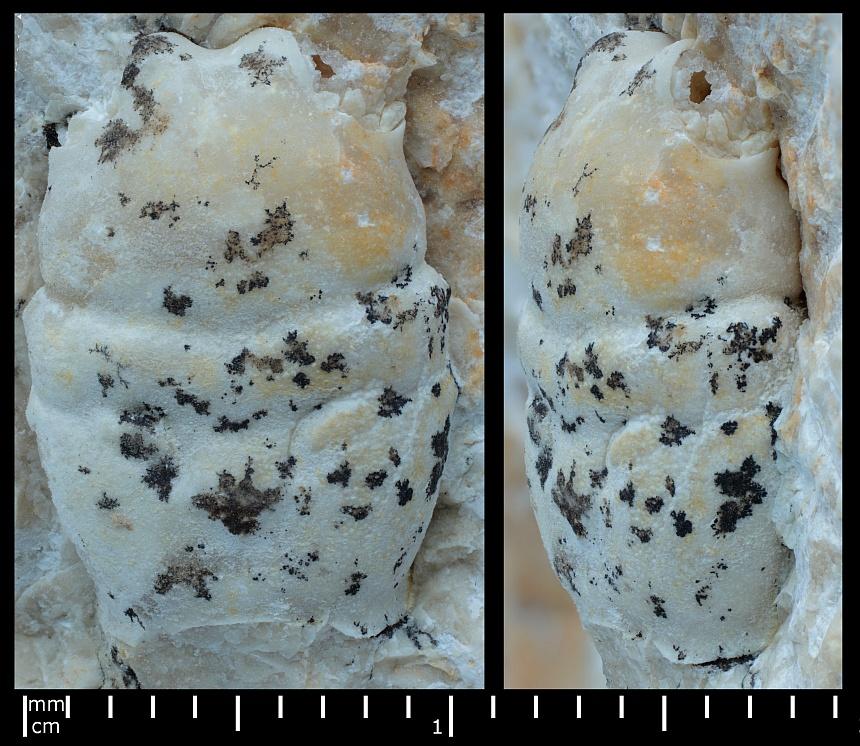 Longodromites cf. excisus oder cf. angustus