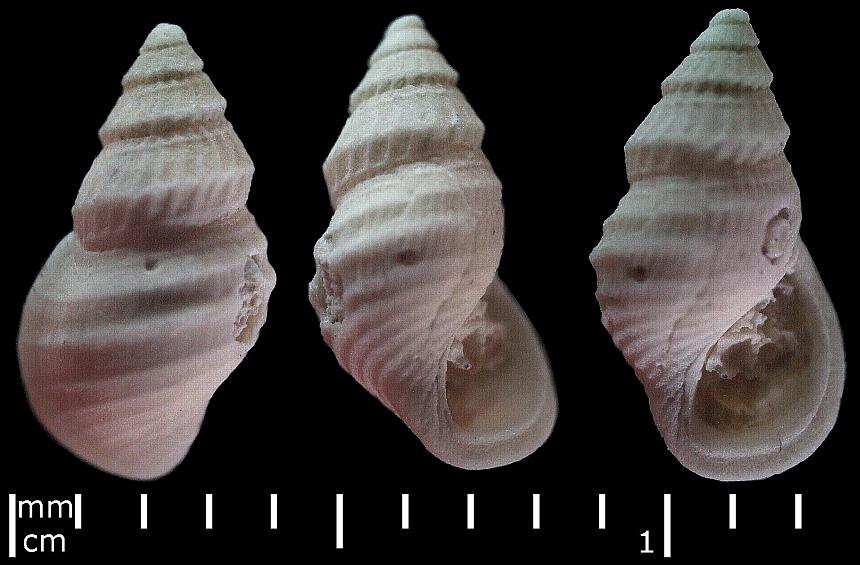 Buvignieria (Cossmann,1921) sp.
