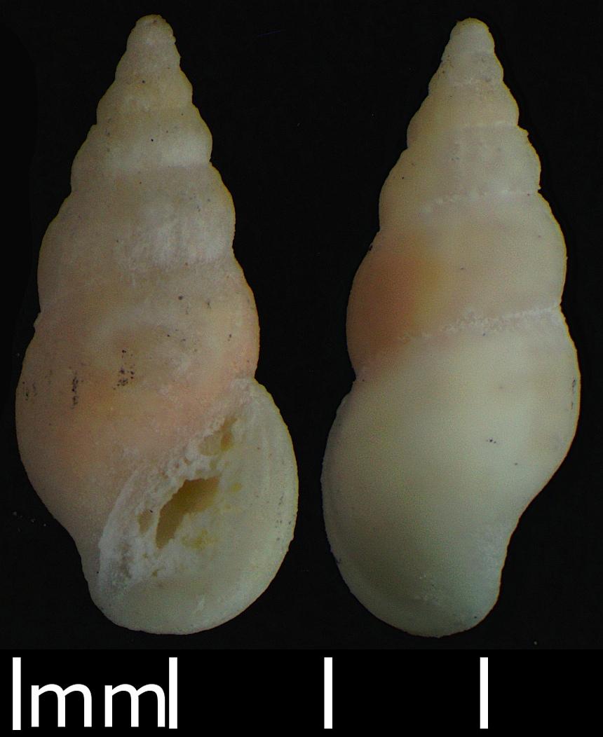 Buvignieria racitana (Gründel, Keupp & Lang, 2019)