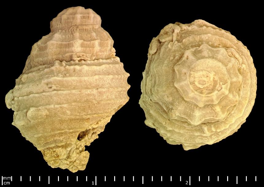 Columbellaria corallina (Quenstedt,1852)