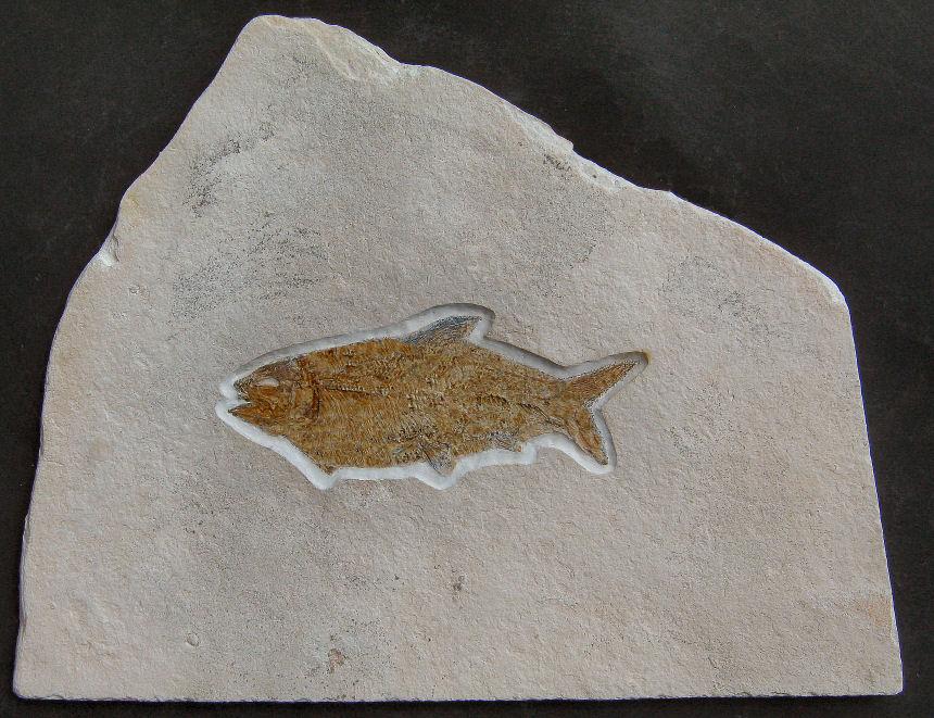 Ionoscopus sp.