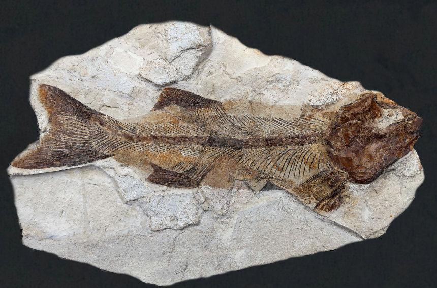 Knochenfisch Gen. et sp. indet