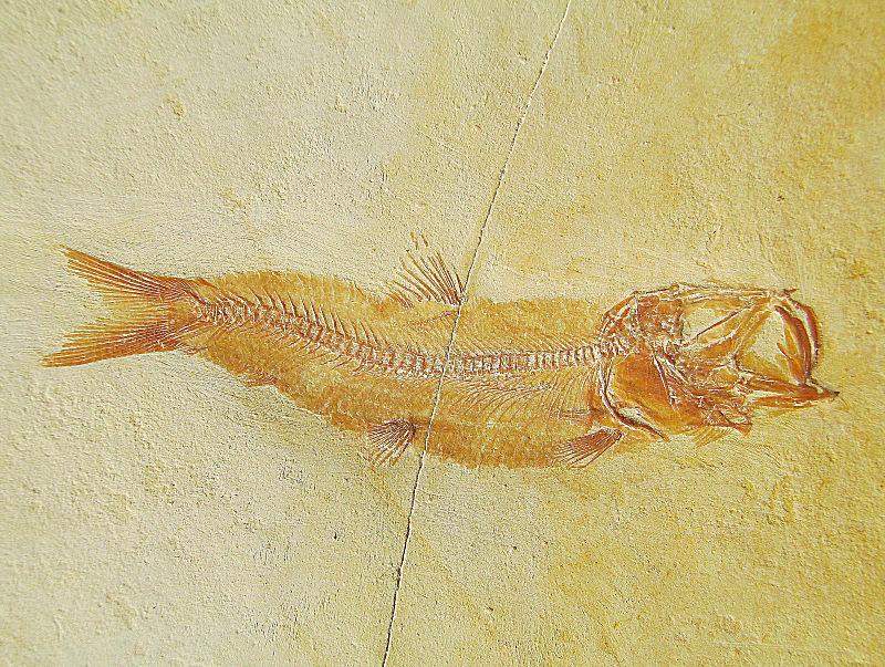 Leptolepides harteisi ARRATIA, 1997