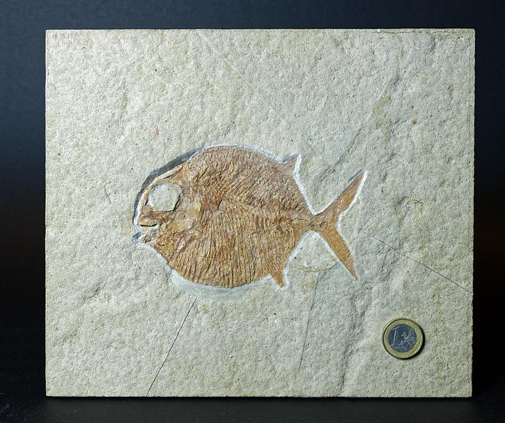 Gyrodus cf. hexagonus (BLAINVILLE 1818)