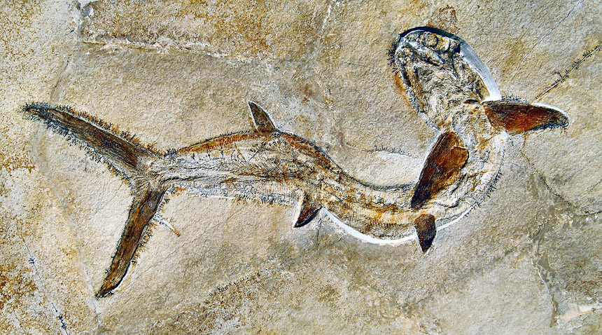 Sauropsis sp.