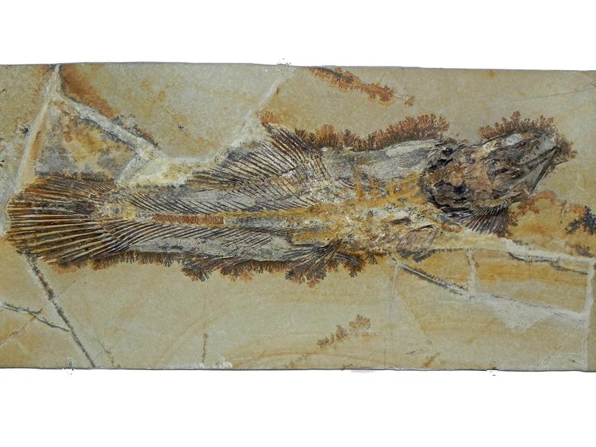 Solnhofenamia elongata GRANDE & BEMIS, 1998