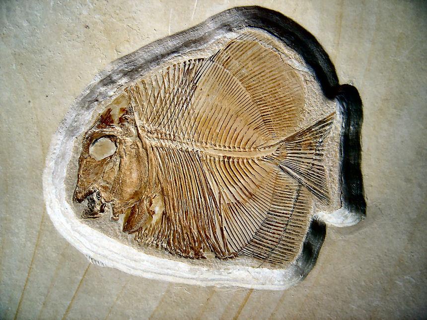 Turbomesodon relegans POYATO-ARIZA & WENZ, 2004