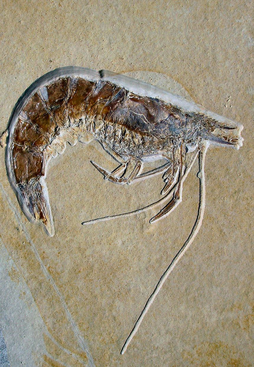 Antrimpos speciosus, MUENSTER 1839