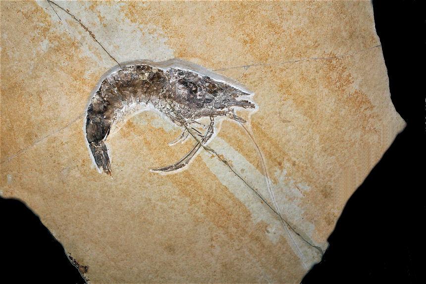 Antrimpos speciosus MUENSTER 1839