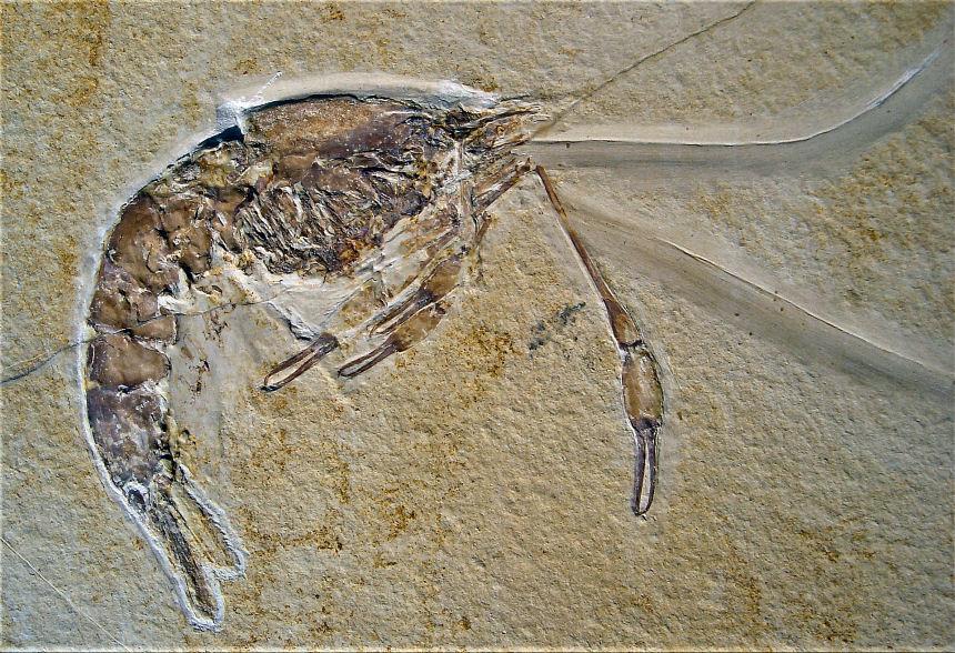 Dusa monocera MUENSTER 1839