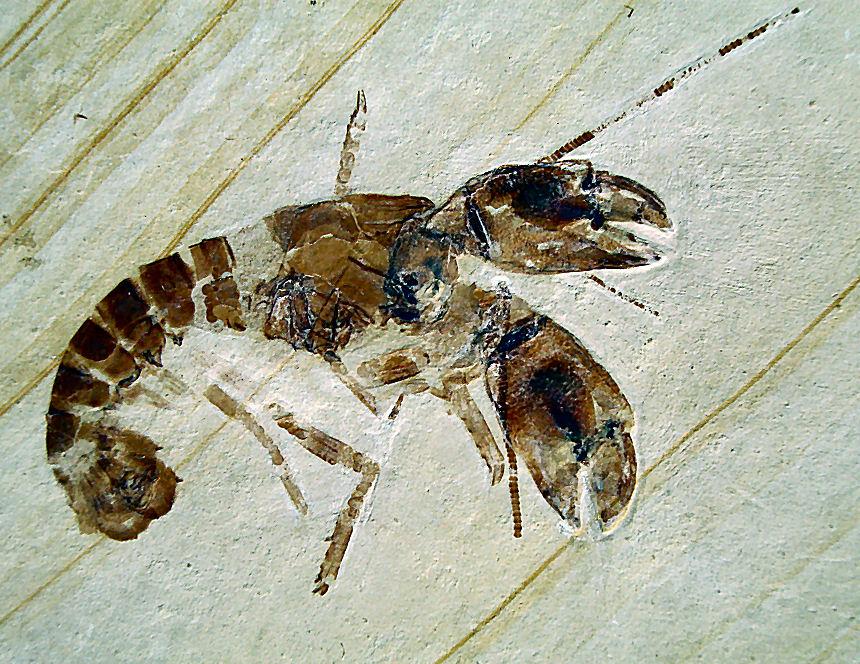 Magila latimana MUENSTER, 1839