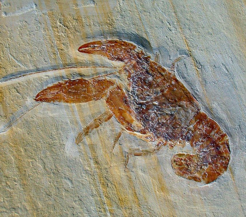 Palaeastacus fuciformis SCHLOTHEIM