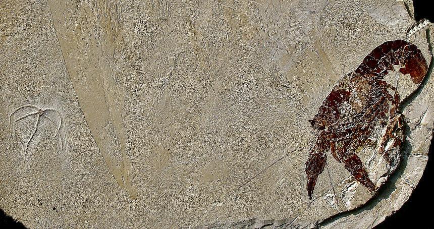 Palaeastacus fuciformis SCHLOTHEIM, Geocoma carinata GOLDFUSS