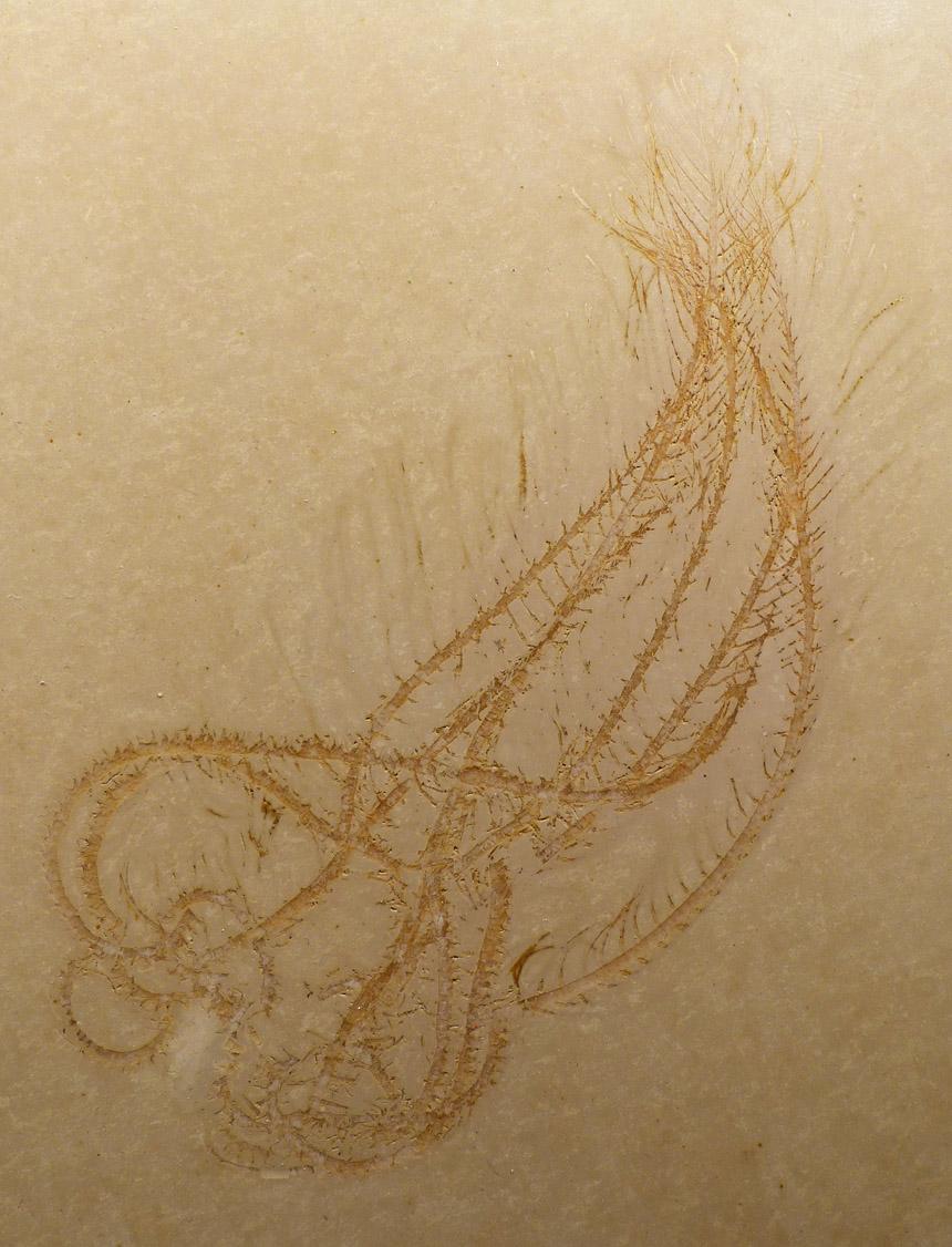 Comaturella pennata (SCHLOTHEIM, 1813)