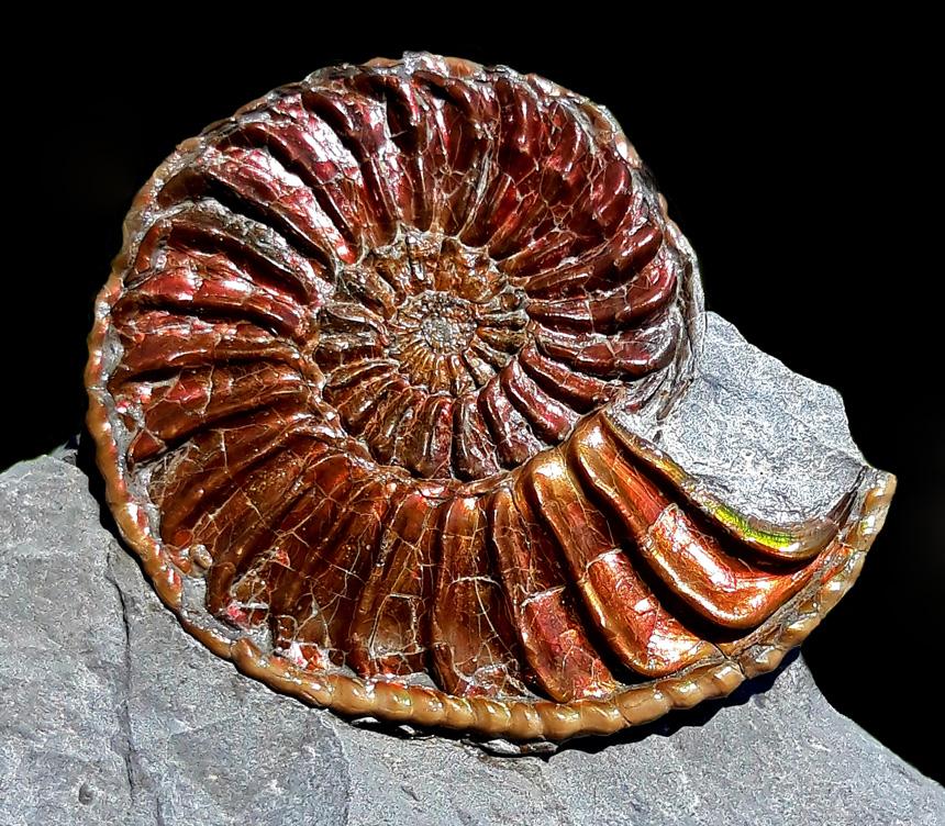 Pleuroceras cf. solare var. solitarium