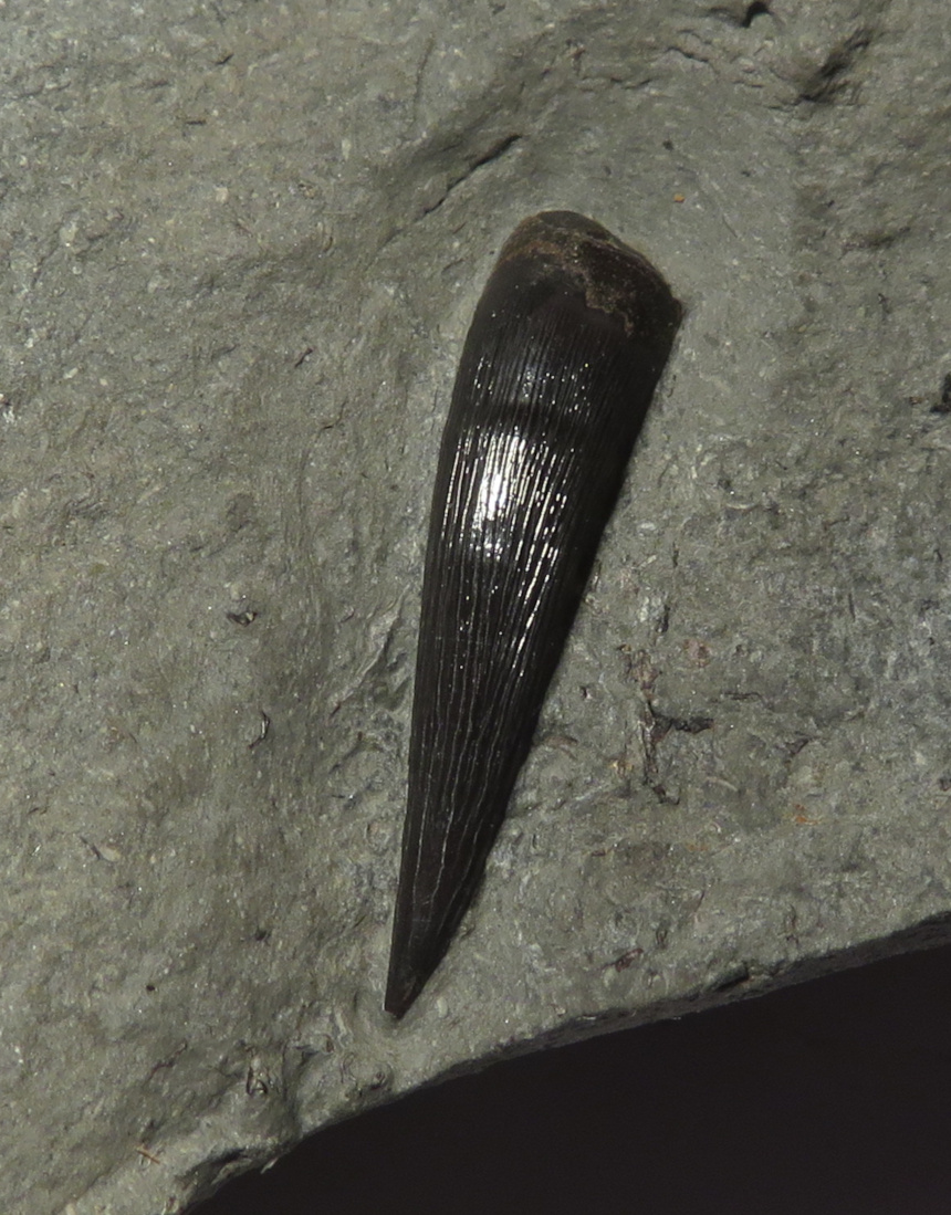 Steneosaurus-Zahn