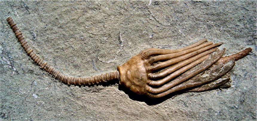 Macrocrinus mundulus