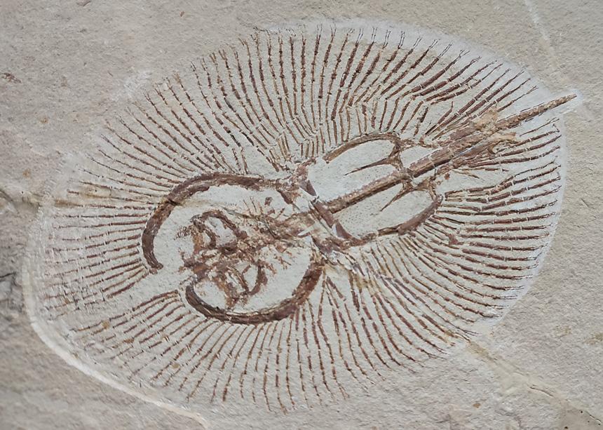 Cyclobatis oligodactylus