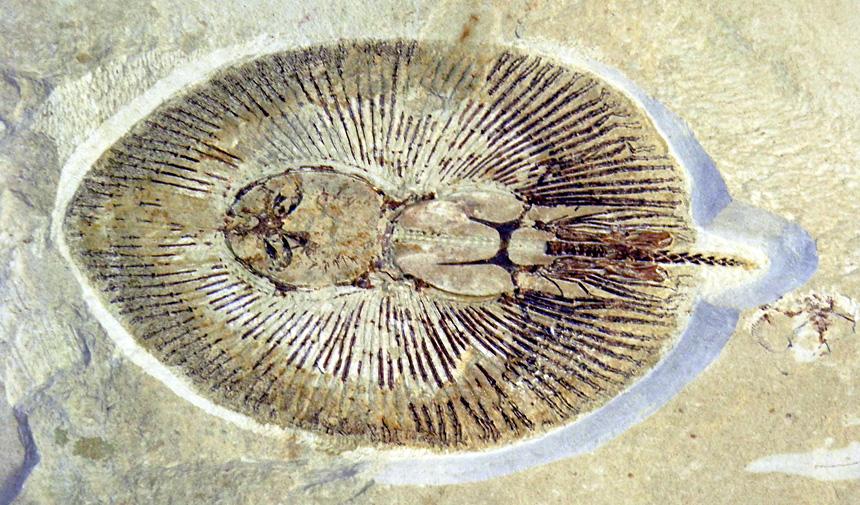 Cyclobatis oligodactylus EGERTON, 1844