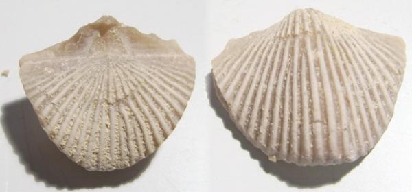 Brachiopode Trigonosemus pectiniformis
