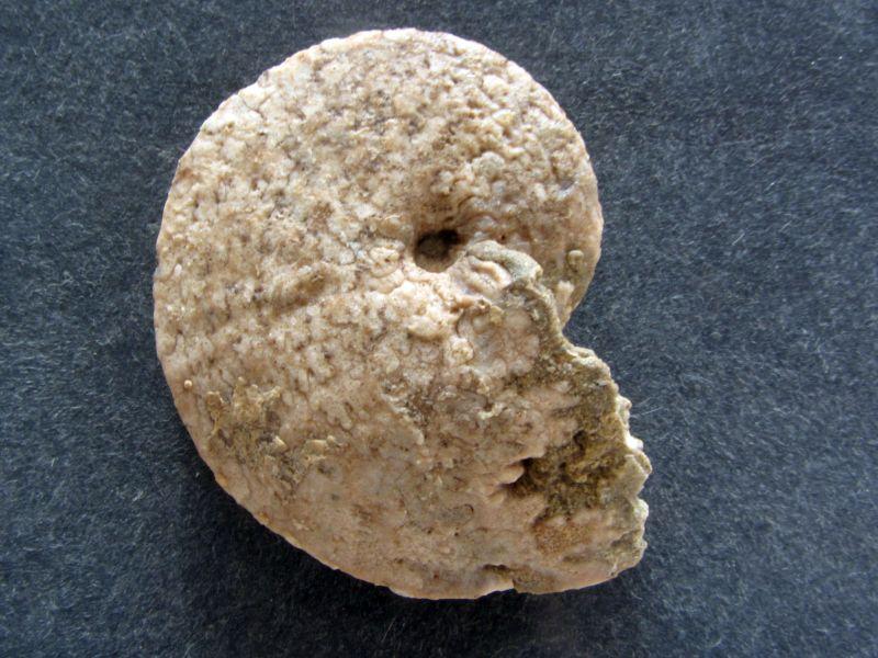 Herrikiceras costatum