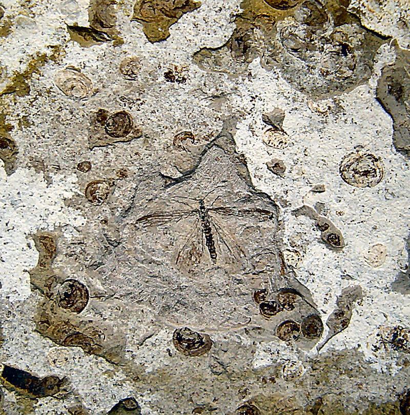 Köcherfliege non det. ( Trichoptera )