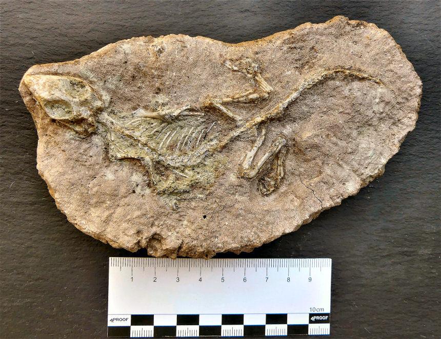 Yabeinosaurus tenuis, ENDO & SHIKAMA 1942