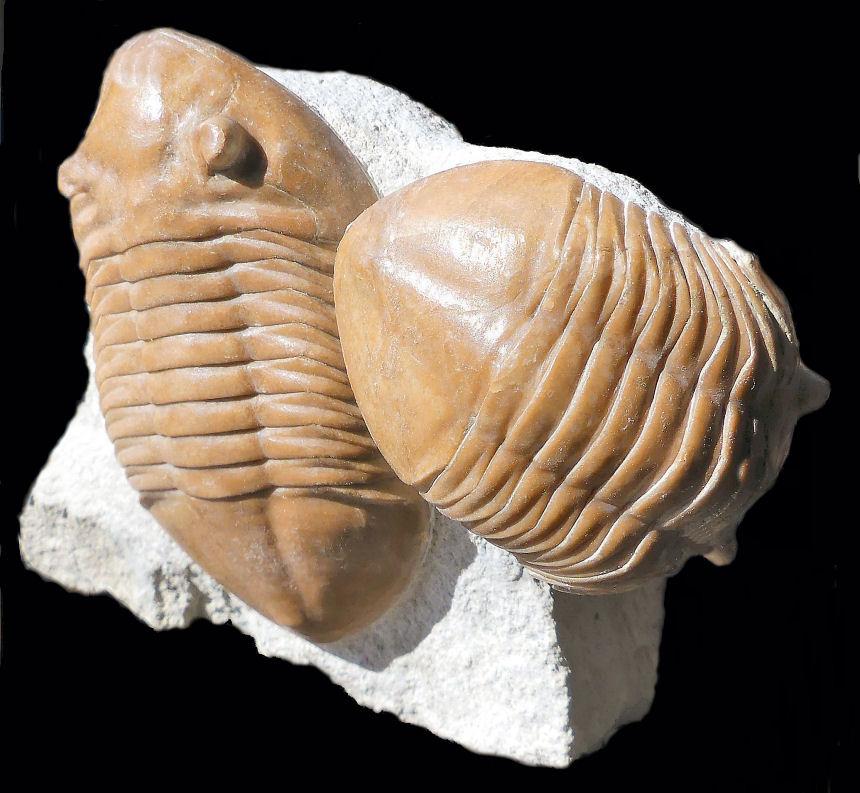 Asaphus acumunatus