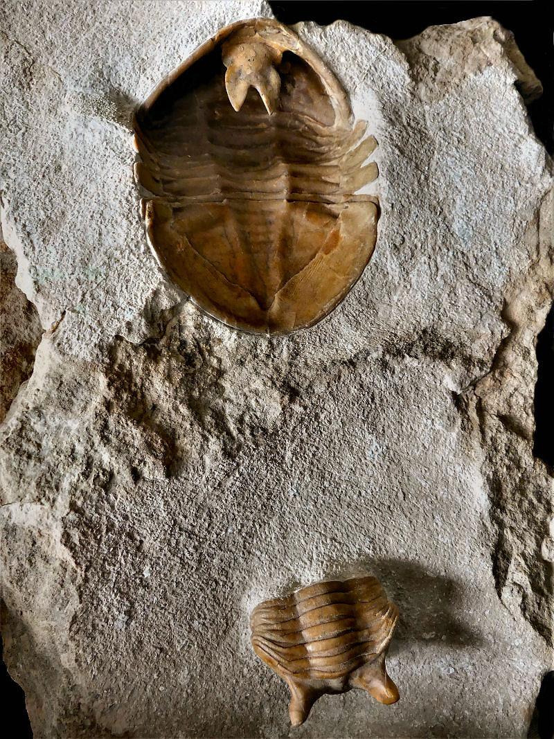 Asaphus holmi SCHMIDT, 1898; Asaphus punctatus LESSNIKOVA, 1947