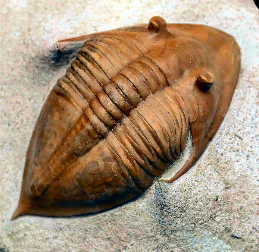 Megistaspidella triangularis SCHMIDT, 1906