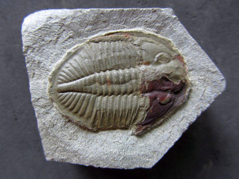 Ogyginus corndensis