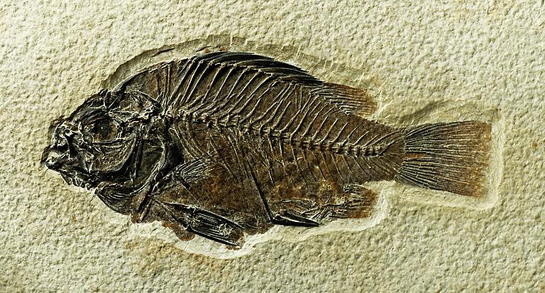 Priscacara serrata (COPE, 1877