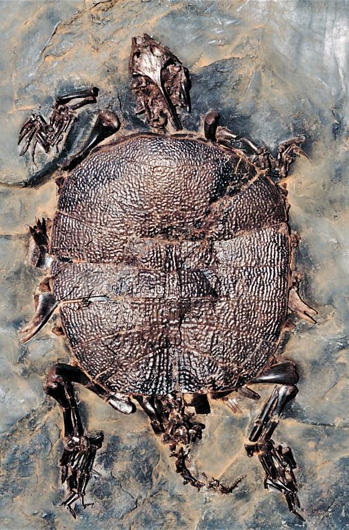 Trionyx messelianus, eine seltene Weichschildkröte aus der Grube Messel